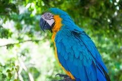 Kolorowa ara relaksuje akcję przeciw naturalnemu tłu Zdjęcia Stock