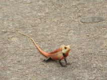 Kolorowa Azjatycka jaszczurka Obraz Royalty Free