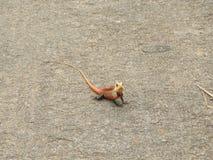Kolorowa Azjatycka jaszczurka Obrazy Stock
