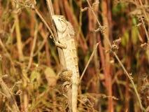 Kolorowa Azjatycka jaszczurka Zdjęcia Royalty Free