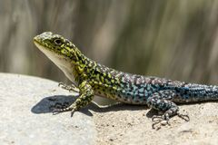 Kolorowa błękitna i zielona jaszczurka Obraz Stock