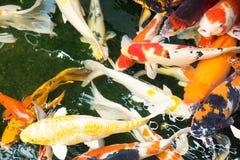 Kolorowa bzdury ryba pływa wpólnie w rybim stawie Obrazy Royalty Free