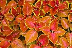 kolorowa coleus czerwień Zdjęcia Stock