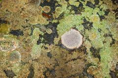 Kolorowa Crustose liszaj społeczność zdjęcie royalty free