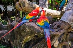 Kolorowa czerwona papuzia ara Zdjęcia Stock