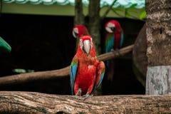 Kolorowa czerwona papuzia ara Obraz Royalty Free