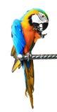 Kolorowa czerwona papuzia ara odizolowywająca Fotografia Royalty Free
