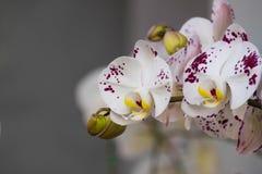Kolorowa dzika orchidea Fotografia Royalty Free