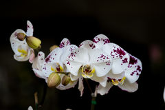 Kolorowa dzika orchidea Zdjęcie Stock