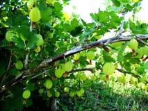 Kolorowa fotografia pokazuje kwitnącego jagodowego agresta Zdjęcia Royalty Free