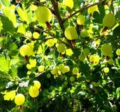 Kolorowa fotografia pokazuje kwitnącego jagodowego agresta Obraz Royalty Free