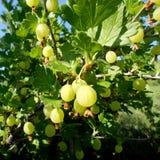 Kolorowa fotografia pokazuje kwitnącego jagodowego agresta Zdjęcie Stock