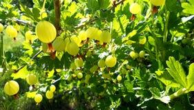 Kolorowa fotografia pokazuje kwitnącego jagodowego agresta Fotografia Royalty Free
