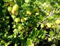 Kolorowa fotografia pokazuje kwitnącego jagodowego agresta Fotografia Stock
