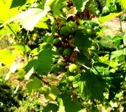 Kolorowa fotografia pokazuje kwitnącego jagodowego agresta Obraz Stock