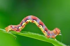 Kolorowa gąsienica zdjęcie royalty free