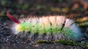 Kolorowa gąsienica. Obraz Royalty Free