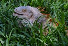Kolorowa iguana Zdjęcie Stock