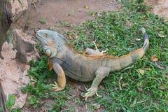 Kolorowa iguana Fotografia Stock