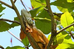 Kolorowa iguana na drzewie Fotografia Stock