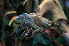Kolorowa iguana na gałąź Zdjęcie Royalty Free