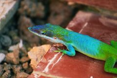kolorowa jaszczurka Obrazy Stock