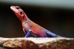 kolorowa jaszczurka Zdjęcie Royalty Free