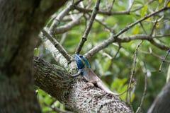 Kolorowa jaszczurka na gałąź Fotografia Royalty Free