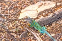 Kolorowa jaszczurka w pustyni Obraz Stock