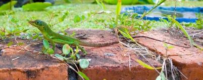 Kolorowa jaszczurka w tropikalnym ogródzie Obraz Royalty Free