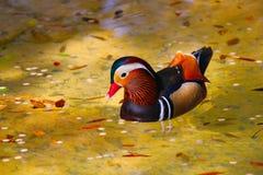 Kolorowa Kaczka Obrazy Royalty Free