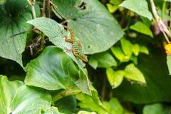 Kolorowa Kolumbijska jaszczurka Obrazy Stock