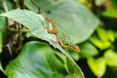 Kolorowa Kolumbijska jaszczurka Zdjęcie Stock