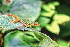Kolorowa Kolumbijska jaszczurka Fotografia Stock