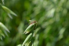 Kolorowa komarnica w naturze obraz stock