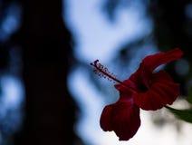 Kolorowa kwiat czerwień z wielkim backround Zdjęcia Royalty Free