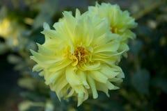 Kolorowa kwiat dalia Zdjęcie Stock