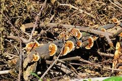 Kolorowa lecznicza pieczarka conks na nieżywej gałąź w pogodnej polanie zdjęcie royalty free
