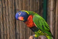 Kolorowa Lorikeet papuga Obrazy Stock