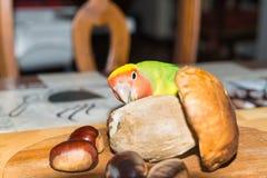 Kolorowa Lovebird papuga - Agapornis roseicollis Żądna i wyśmienita papuga Obrazy Royalty Free