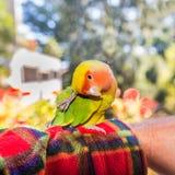 Kolorowa Lovebird papuga - Agapornis roseicollis Zdjęcie Royalty Free