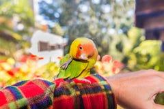 Kolorowa Lovebird papuga - Agapornis roseicollis Obrazy Royalty Free