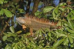 Kolorowa Męska iguana w drzewie Fotografia Royalty Free