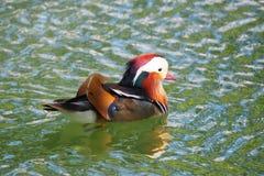 Kolorowa mandarynki kaczka, Jeziorny Castell Del Remei, Lleida fotografia royalty free