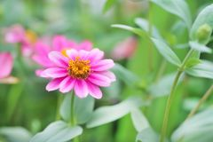 Kolorowa menchia kwitnie cyni violacea kwitnienie w ogródzie zdjęcia stock