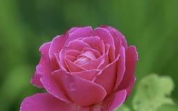Kolorowa menchii róża w późnego lata popołudniu zdjęcia stock