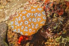 Kolorowa mimetic krab garnela na rafie Obraz Stock