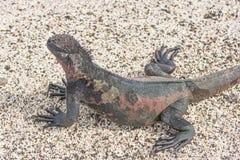 Kolorowa Morska iguana na plaży Zdjęcia Royalty Free