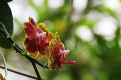 Kolorowa motylia orchidea Obraz Stock