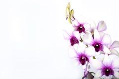 kolorowa orchidea Obraz Stock
